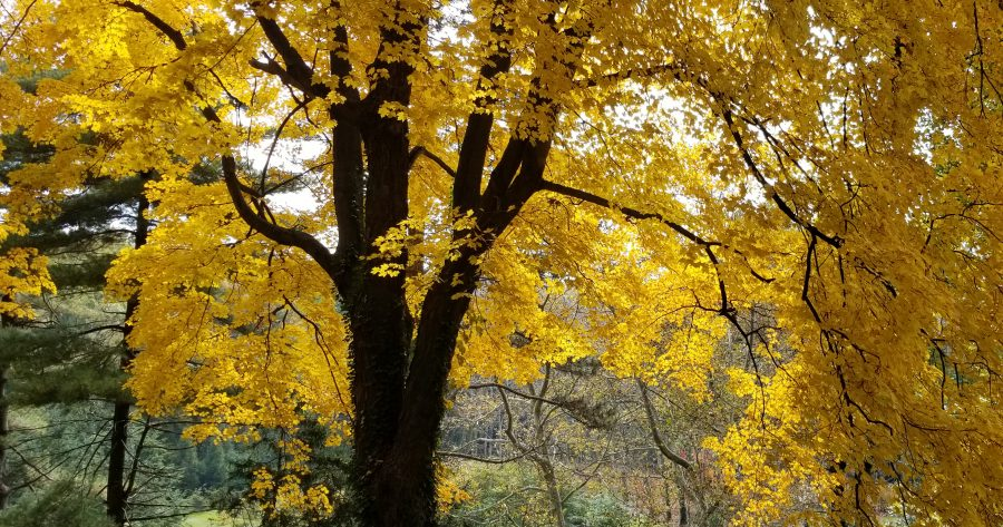 A magnificent sugar maple in early November